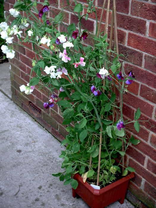 Душистый горошек: посадка и уход в открытом грунте, фото, выращивание семенами