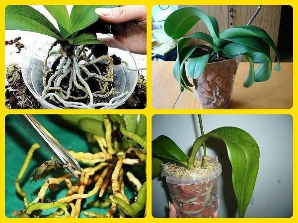 Детка орхидеи (21 фото): как отсадить ее от материнского растения в домашних условиях? пересадка детки на цветоносе. как взять отросток?