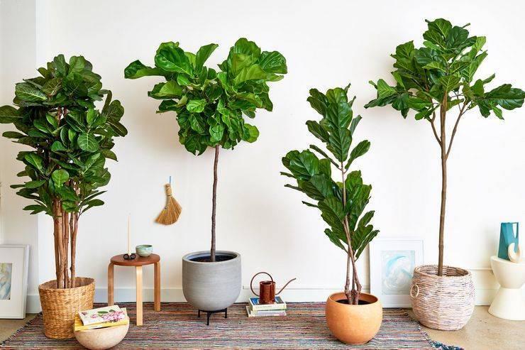 Фикусы лировидные (41 фото): правила ухода за лиратой «бамбино» в домашних условиях, особенности размножения листом, правила формирования кроны