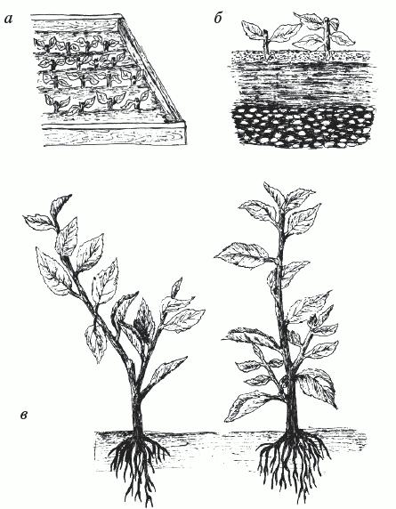 Разновидности бересклета, особенности их посадки, ухода и размножения