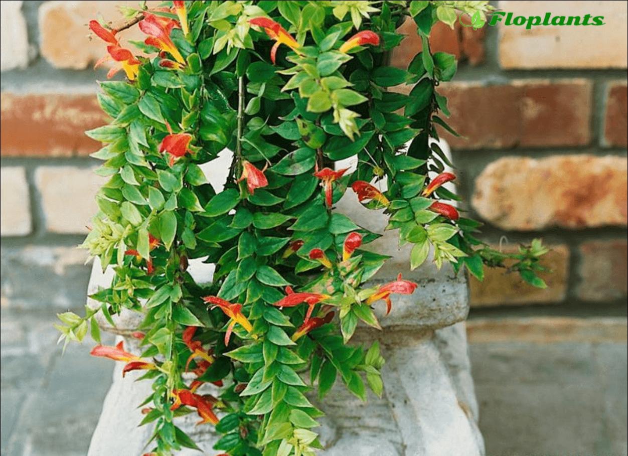 Колумнея — алые цветы и непростой характер