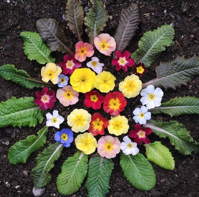 Примула: посадка, уход и фото многолетнего цветка, посев и тонкости выращивания садового растения в открытом грунте, виды, такие как ушковая, японская и шотландская