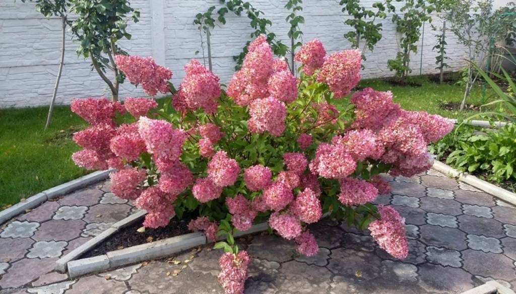 Гортензия сандей фрайз (hydrangea paniculata sundae fraise) — описание