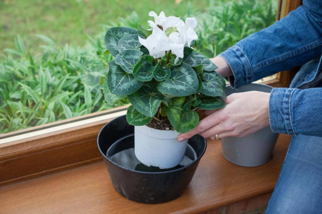Как ухаживать за цветком цикламен в домашних условиях :: инфониак
