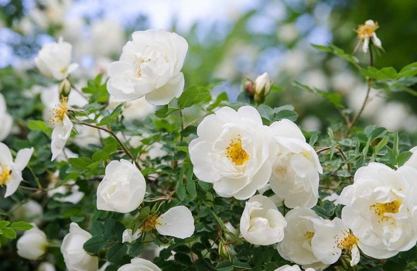 Дикая роза — что это за цветок, как называется