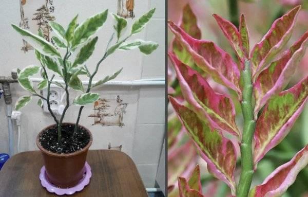 Цветок педилантус: уход в домашних условиях, фото, виды и размножение