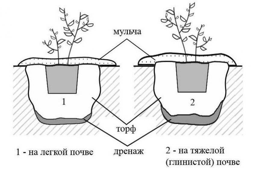 Японская аукуба кротонифолия или золотое дерево: пересадка после покупки