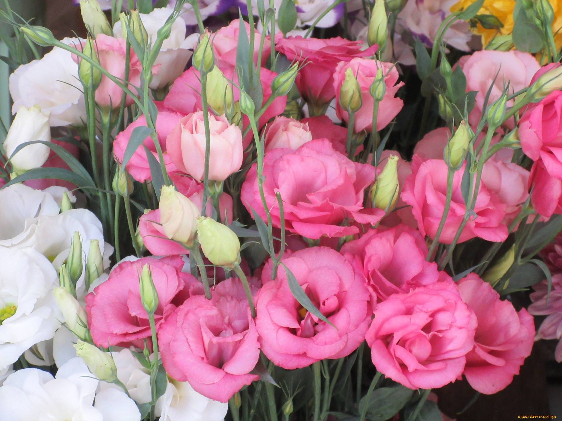 Как называются цветы похожие на розы
