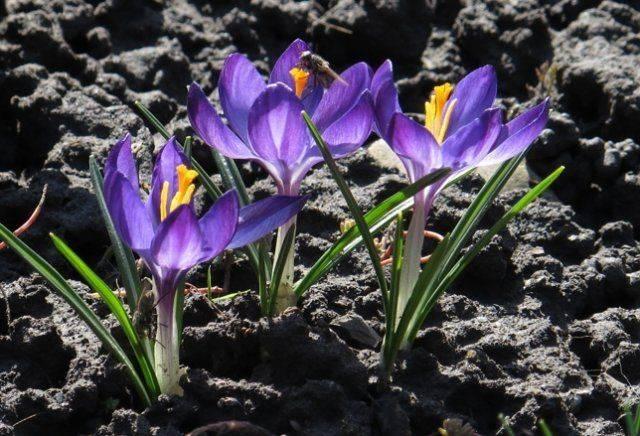 Многолетнее растение крокус: фото и описание сортов, посадка и уход за крокусами