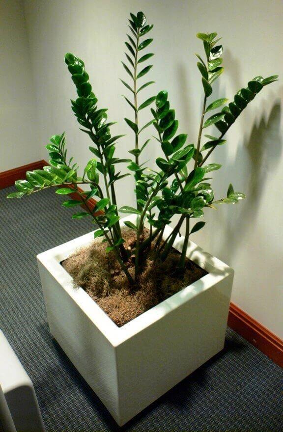 Замиокулькас – уход и посадка в домашних условиях, как поливать, когда цветет?