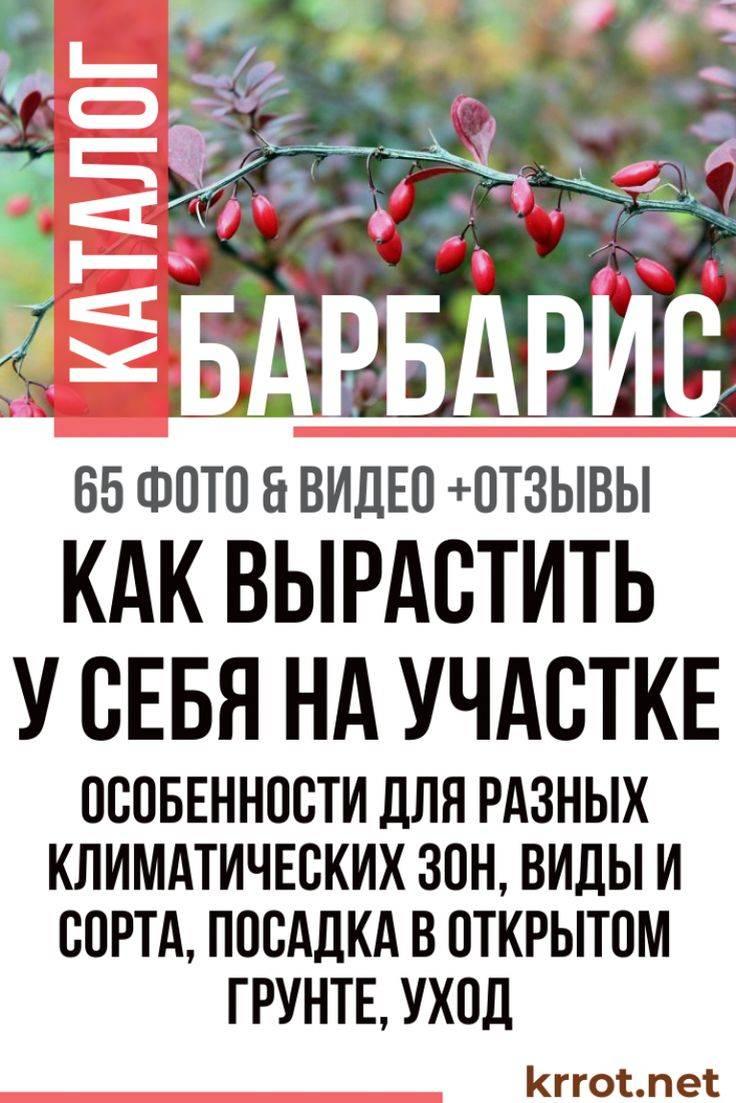 Барбарис «мария» (39 фото): описание сорта барбариса тунберга maria, использование в ландшафтном дизайне, высота растения