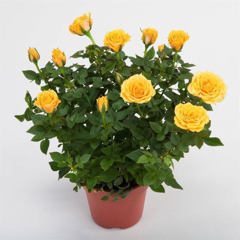 Роза «кордана»: описание и рекомендации по выращиванию