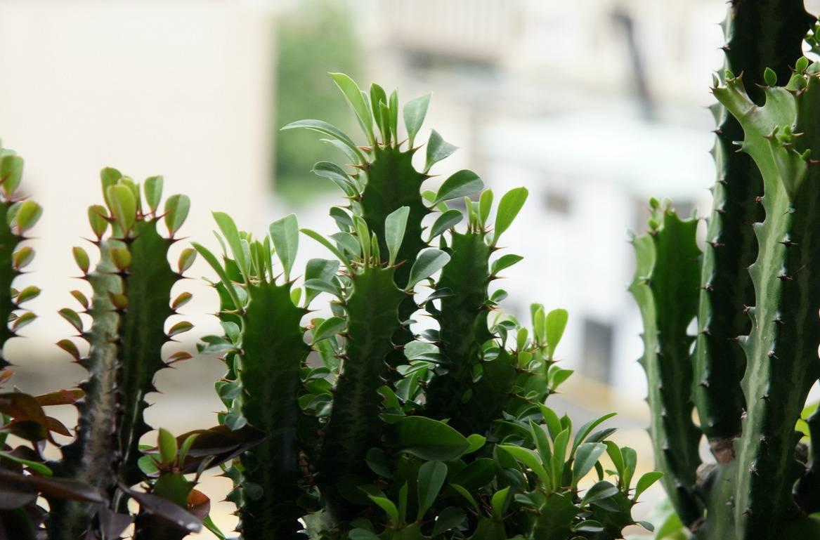 Молочай трехгранный (35 фото): кактус это или нет? описание вида эуфорбия тригона, уход и его размножение в домашних условиях