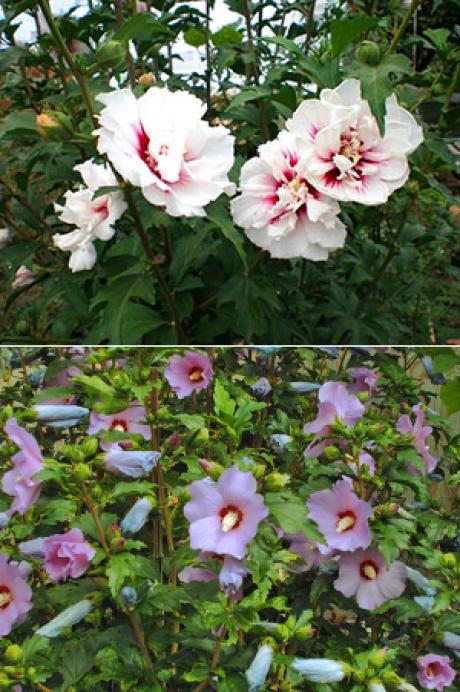 Садовые гибискусы: древовидные кустарники, посадка, уход, размножение