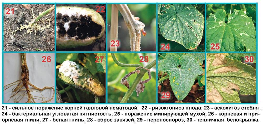 Хлорофитум кудрявый (25 фото): уход за хлорофитумом кучерявым в домашних условиях. способы размножения цветка. как его пересадить? возможные болезни
