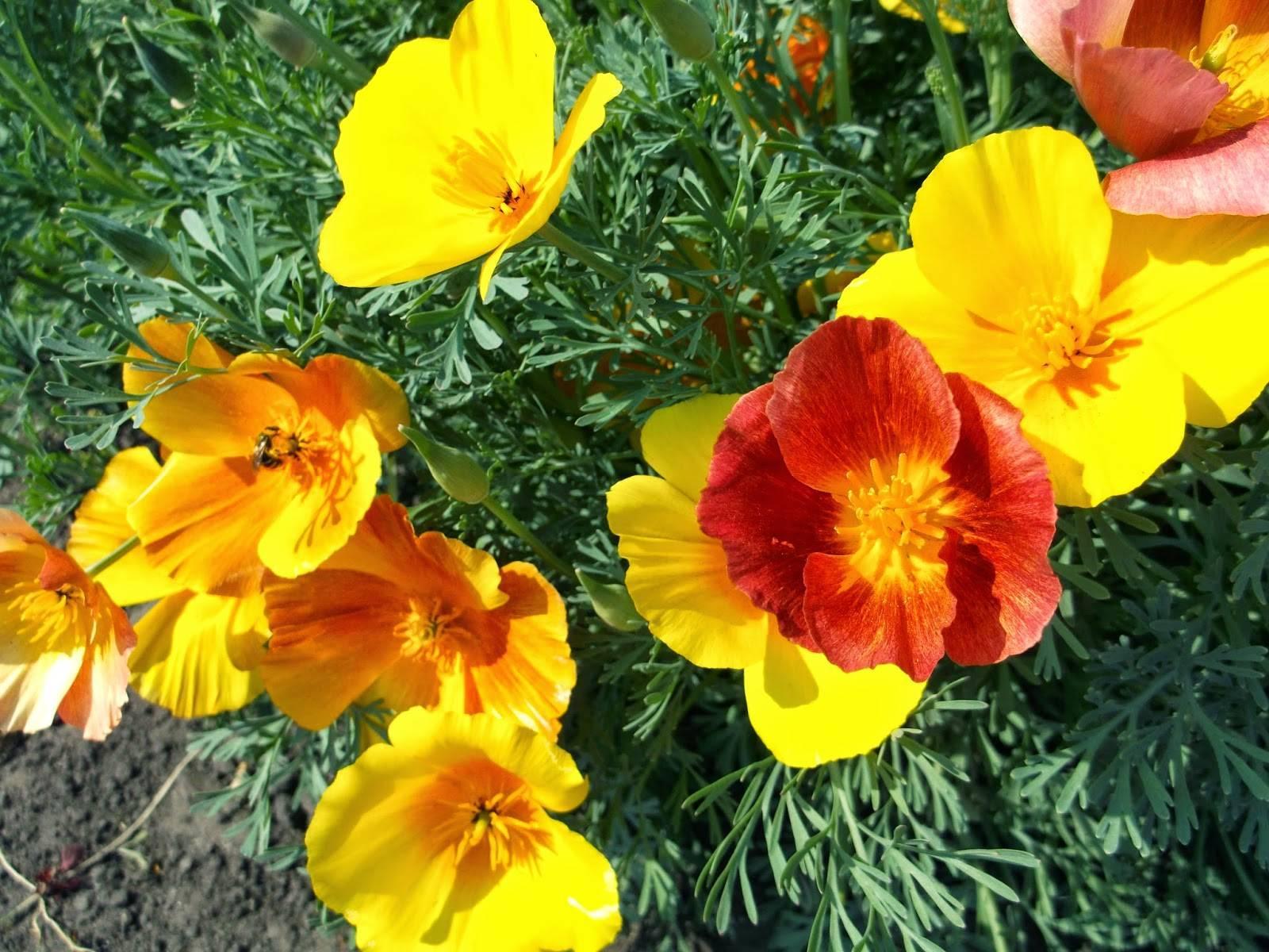 Все о цветах эшшольции: выращивание из семян, когда сажать в открытый грунт