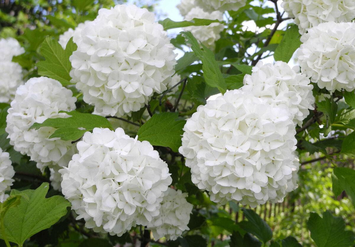 Калина бульденеж — 120 фото и видео описание растения. особенности, секреты и советы по выбору удобрений и выращивания своими руками