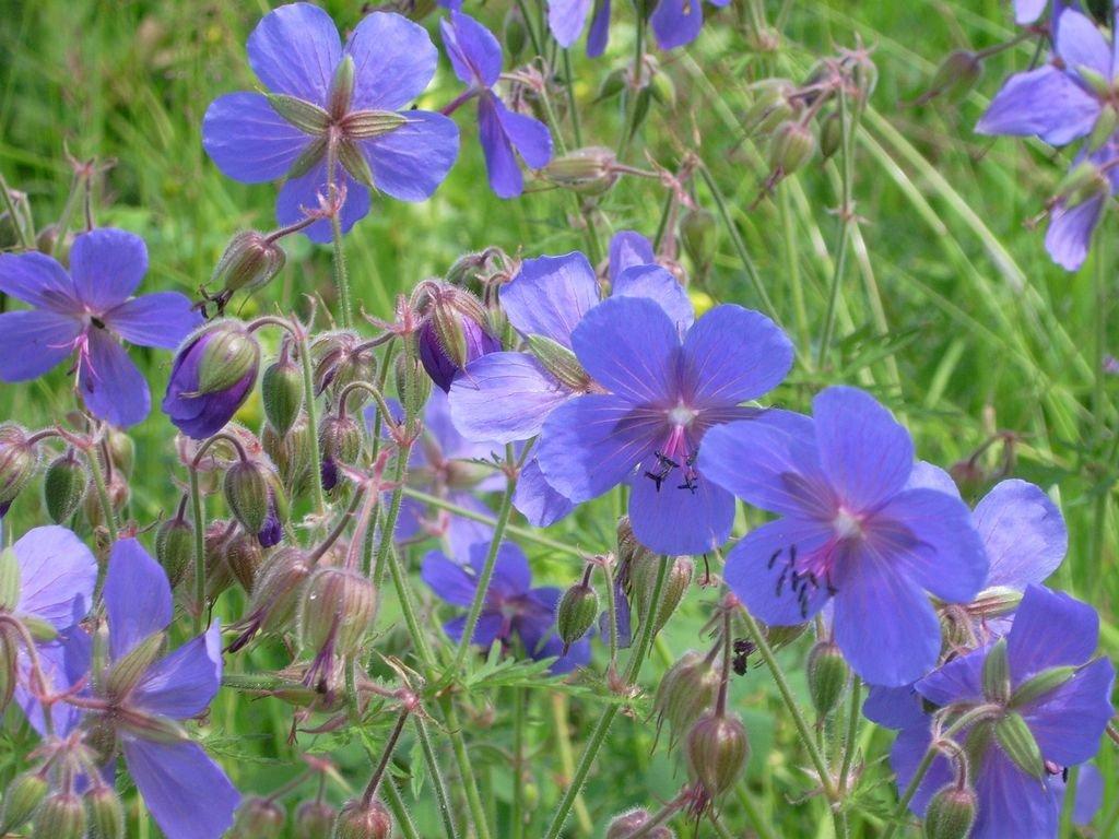 Герань луговая (25 фото): описание герани «фиолетовые пташки», «фокус покус» и других сортов. где они растут и как выглядят их семена?