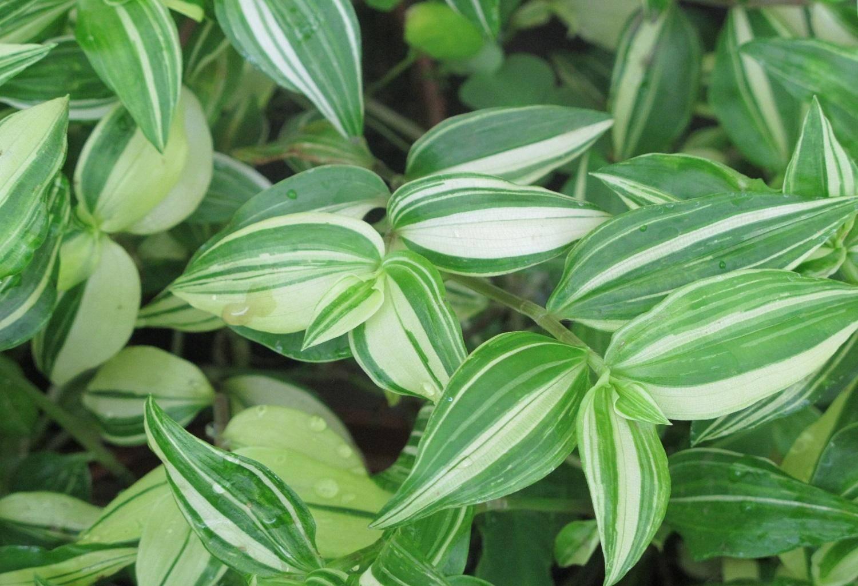 Уход за хавортией в домашних условиях: как цветет, размножение листом