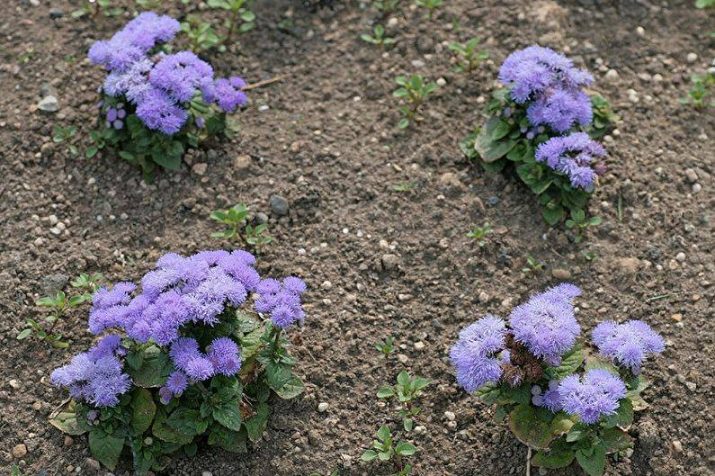 Агератум: посадка и уход. выращивание агератума