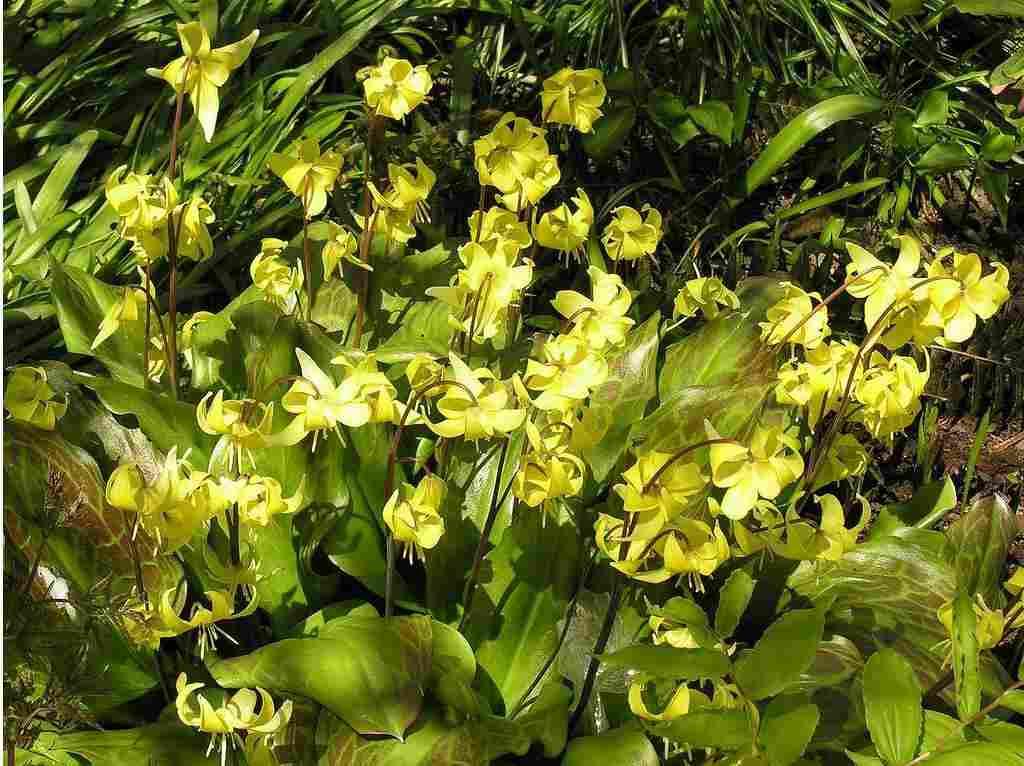 Кандык (эритрониум) для интерьера дома: как вырастить и размножить дома луковичное растение