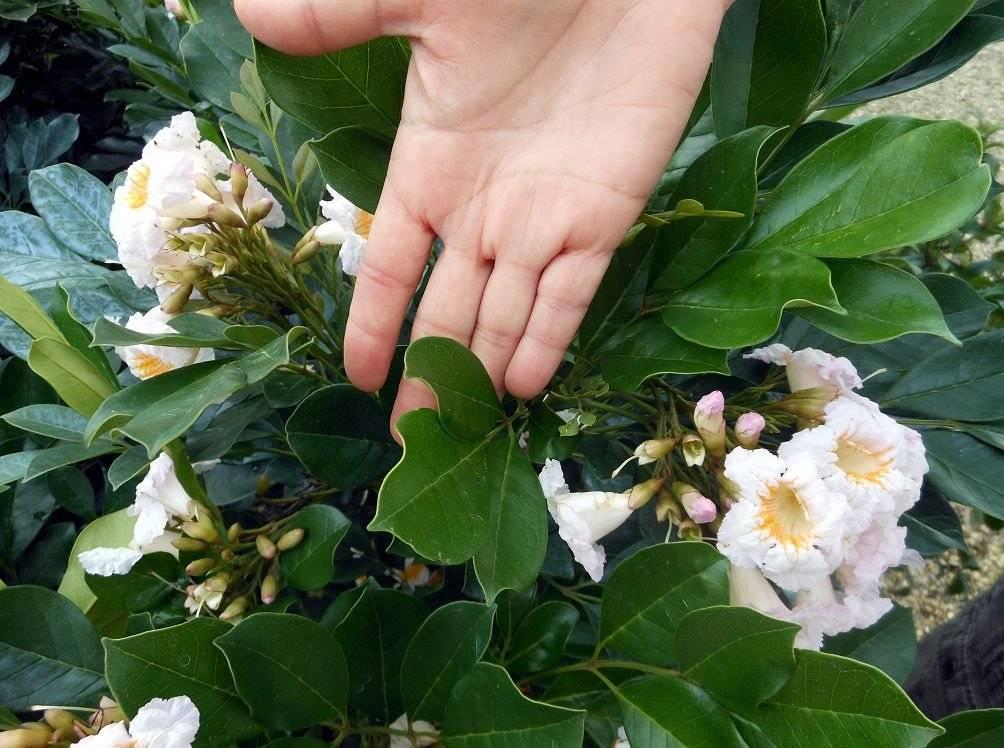 Условия ухода за кодиеумом дома: полив, качество грунта, размножение и обрезка