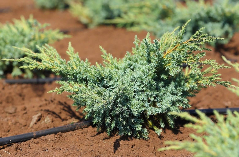 Можжевельник: описание видов и сортов, особенности посадки и ухода