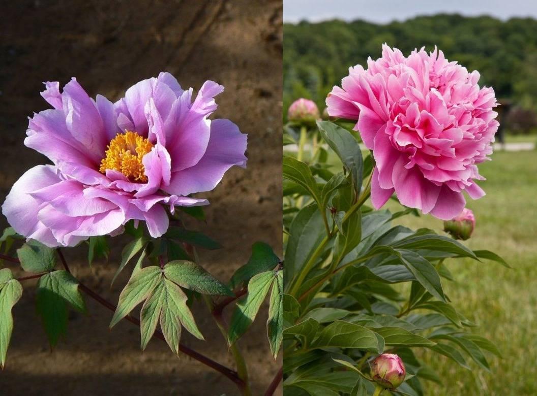 Цветы, похожие на пионы (29 фото): как они называются? описание ранункулюса и других цветов