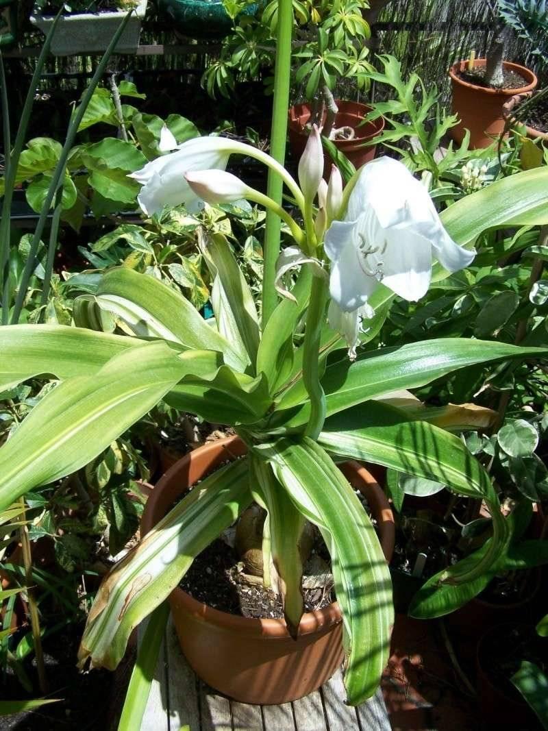Растение кринум комнатный: посадка и уход