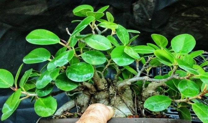 Размножение фикусов в домашних условиях черенками и листьями