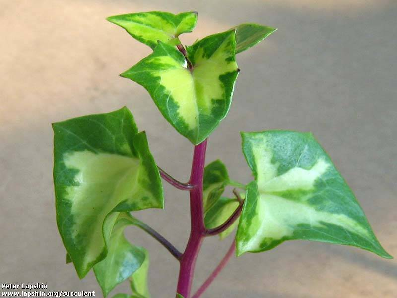 Крестовник крупноязычковый senecio macroglossus