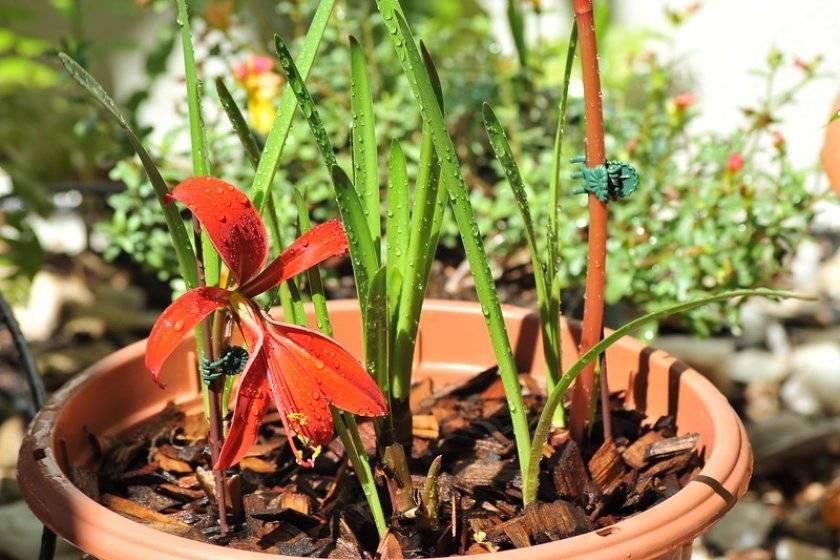 Спрекелия: посадка и уход за растением