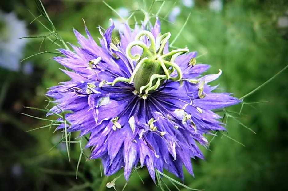 Дамасская нигелла (альбина) — цветок белого, голубого и синего цвета