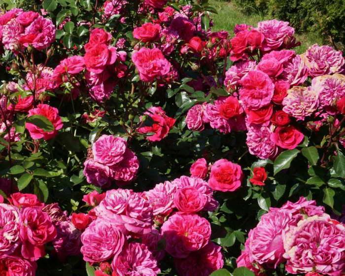 Роза Мейланд (Meilland) — описание сорта