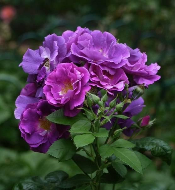 Характеристики плетистой розы перенниал блю: что это за сорт, как выращивать