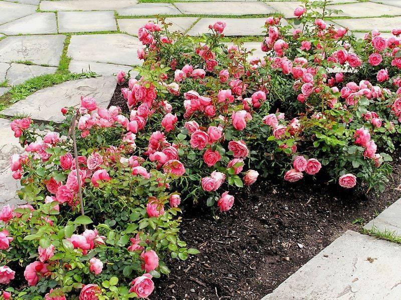 Розы весной: обрезка, подкормка. розы в открытом грунте: 9 дел в апреле-мае. как ухаживать за розами, растущими в открытом грунте