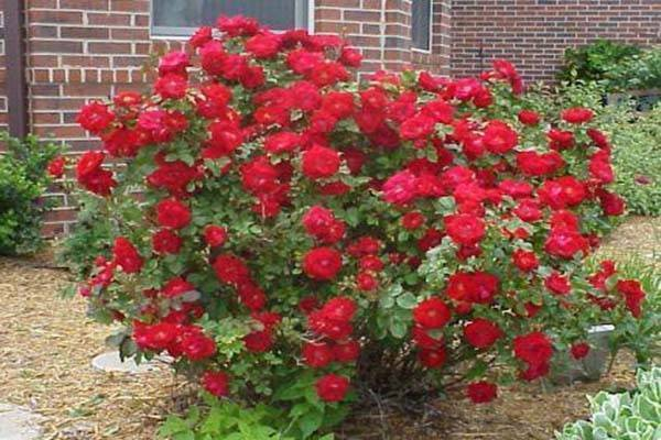 Роза джон франклин (john franklin)