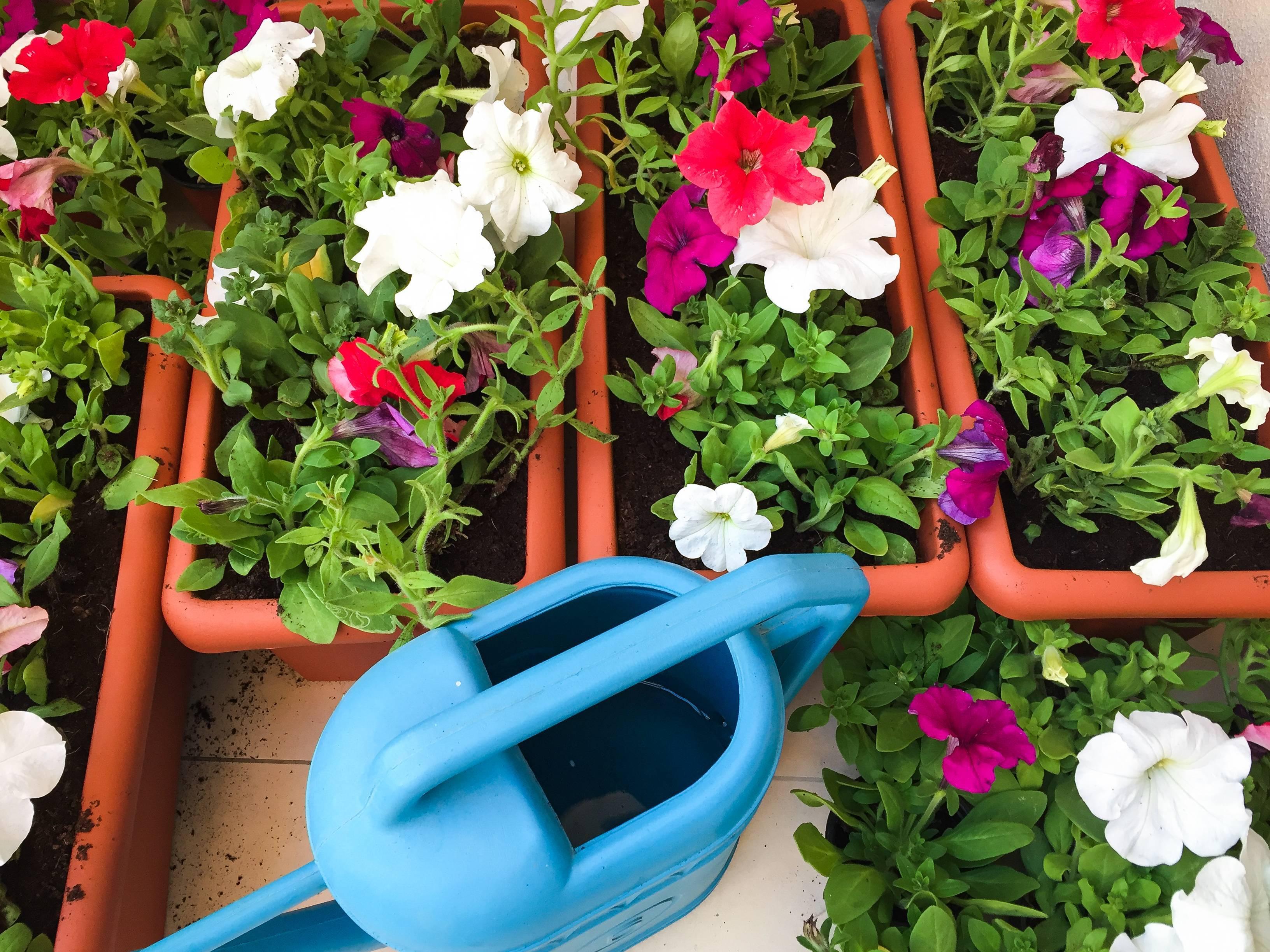 Петуния: выращивание из семян в саду