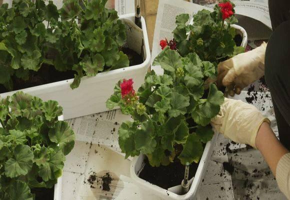 Ампельная герань: уход и выращивание, прищипывание в домашних условиях