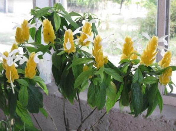Пахистахис, правила ухода за растением в домашних условиях
