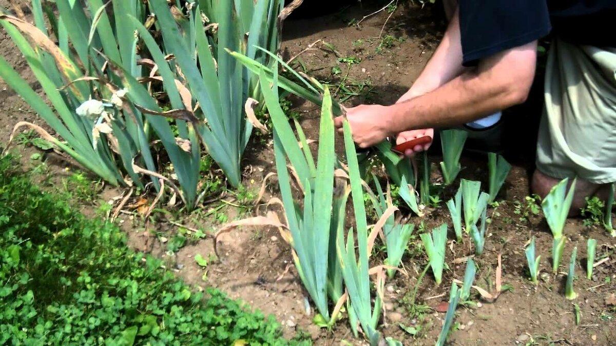 Цветок дицентра (разбитое сердце). описание, посадка и уход за растением