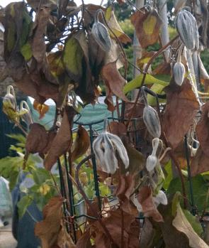 Все о болезнях крыжовника: описание вредителей, почему опадают ягоды и листья