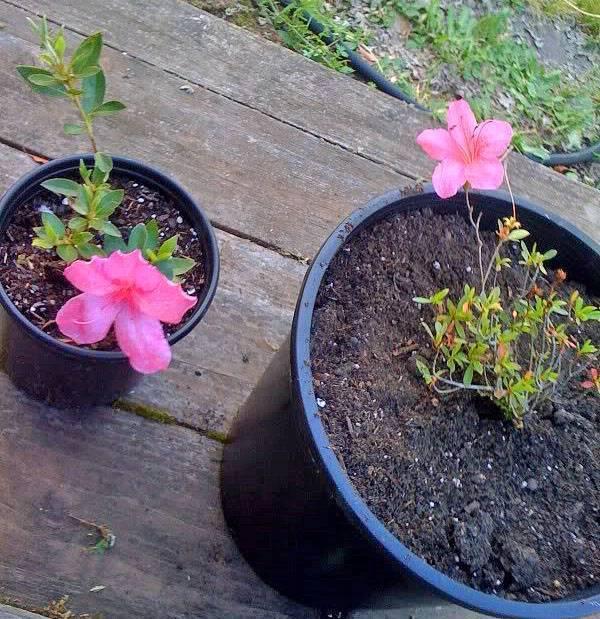 Комнатное и ампельное растение броваллия выращивание из семян в домашних условиях