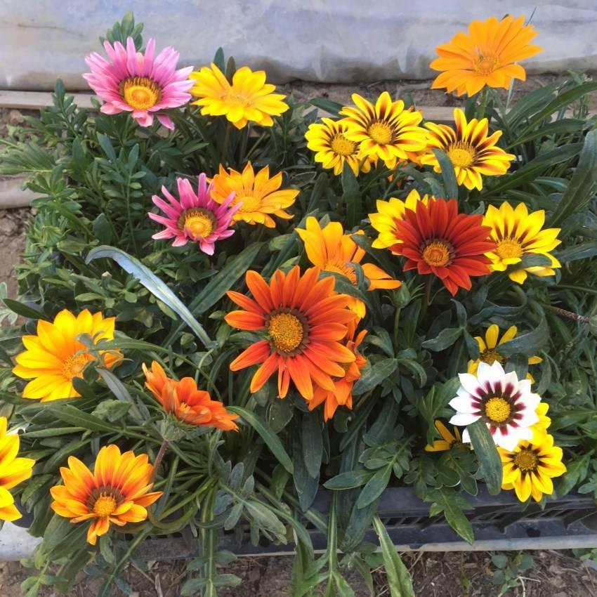 Гацания выращивание из семян в домашних условиях, когда, как сеять