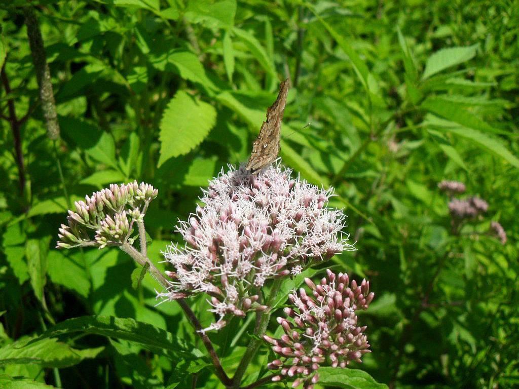 Посконник или евпаториум посадка и уход в открытом грунте виды и сорта фото и описание