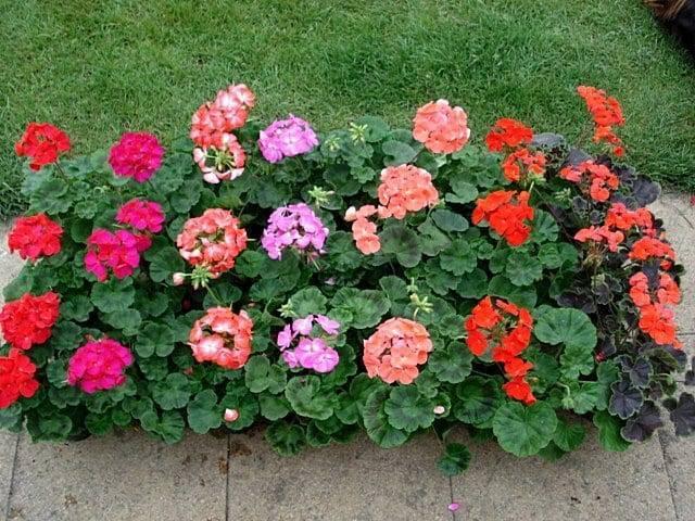 Великолепная многолетняя садовая герань, виды посадка и способы ухода за ней