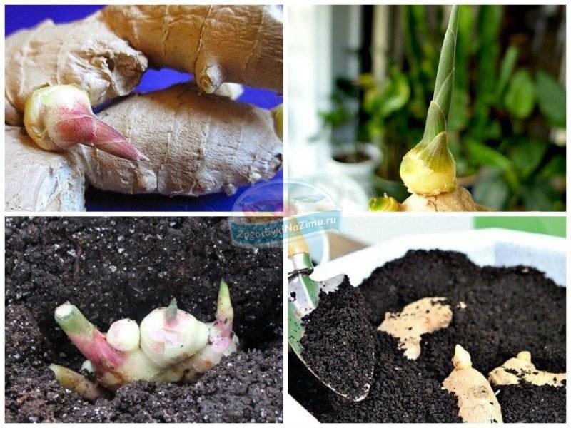 Любимый имбирь: выращивание в домашних условиях
