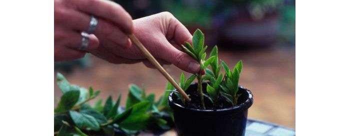 Размножение азалии в домашних условиях: как правильно развести рододендрон делением куста и другими методами пошагово, а также уход за комнатным цветком, его фото