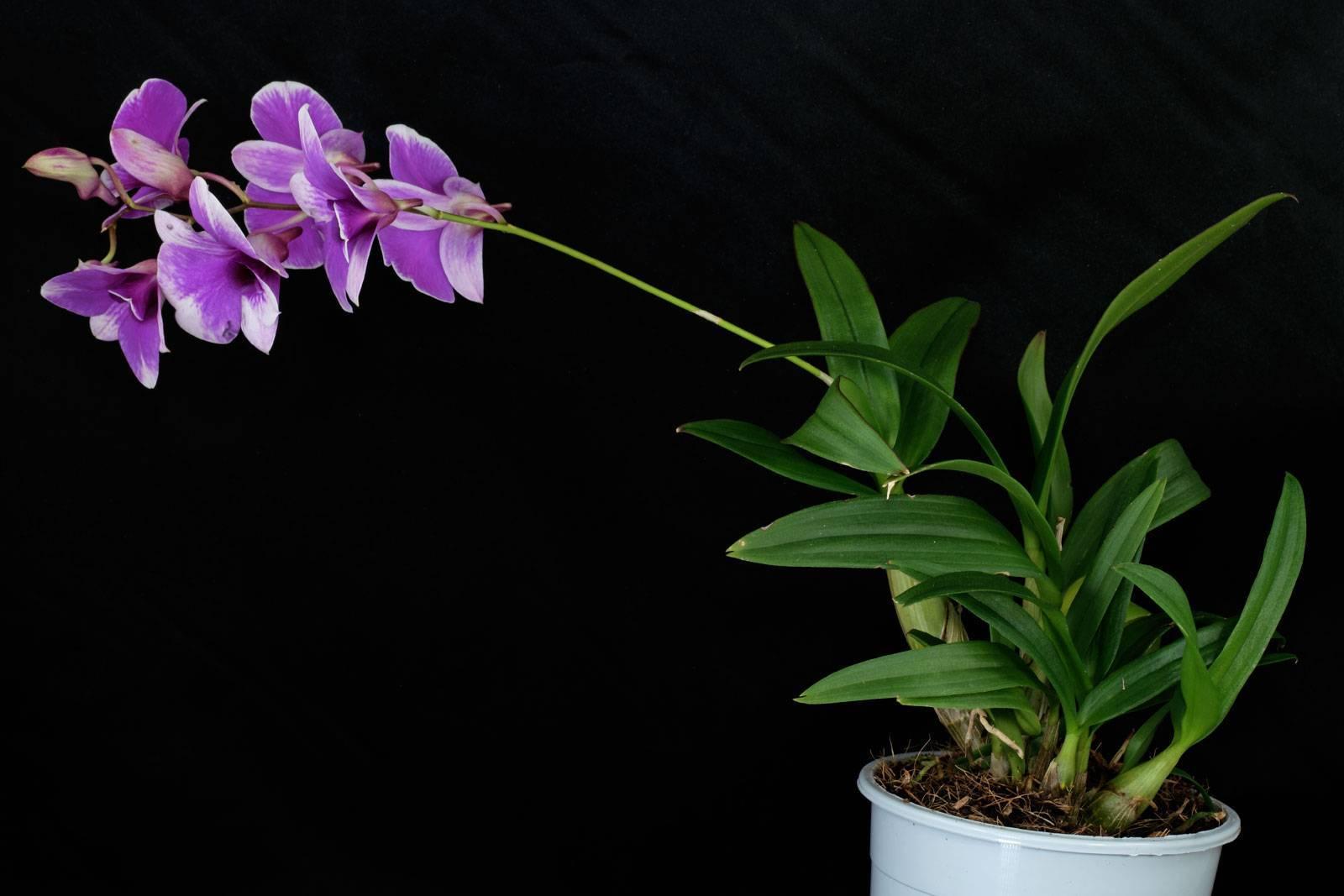 Эпифитные сорта фаленопсисов: валенсия и whitney, а также орхидея ванда