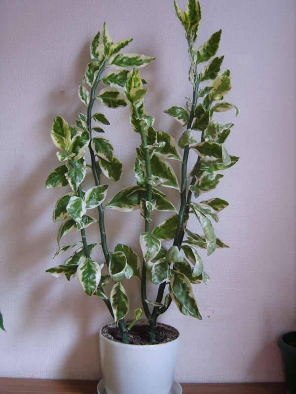 Комнатный цветок педилантус: виды и уход в домашних условиях